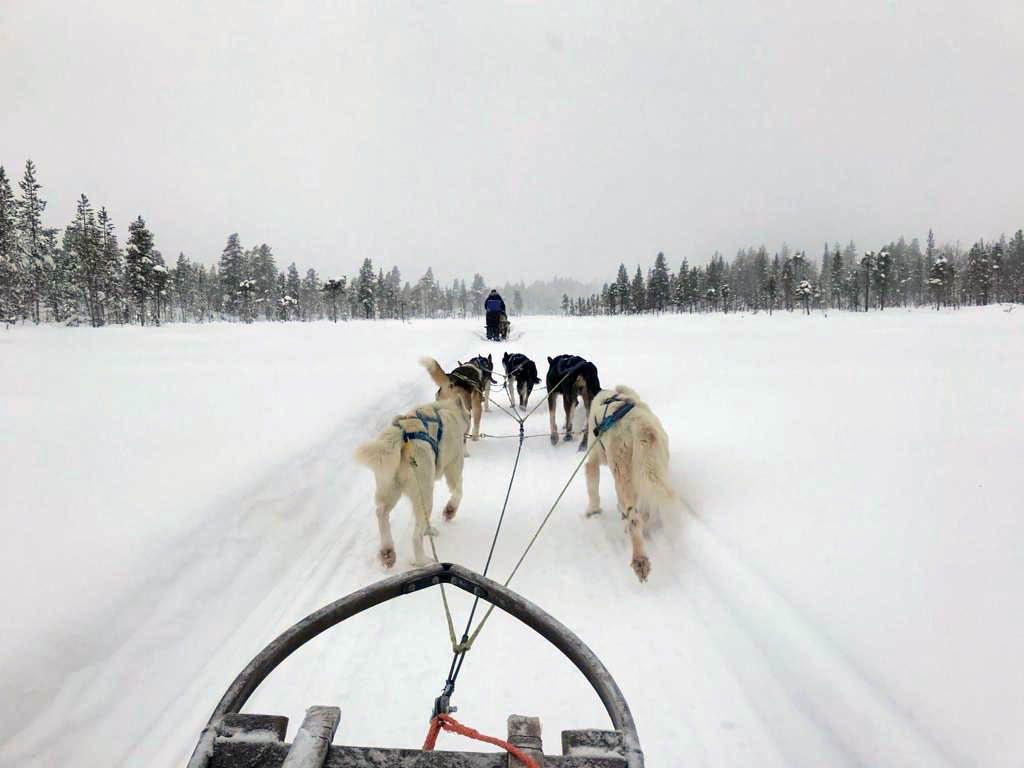 Dogsleeding en önemli lapland aktivitesi