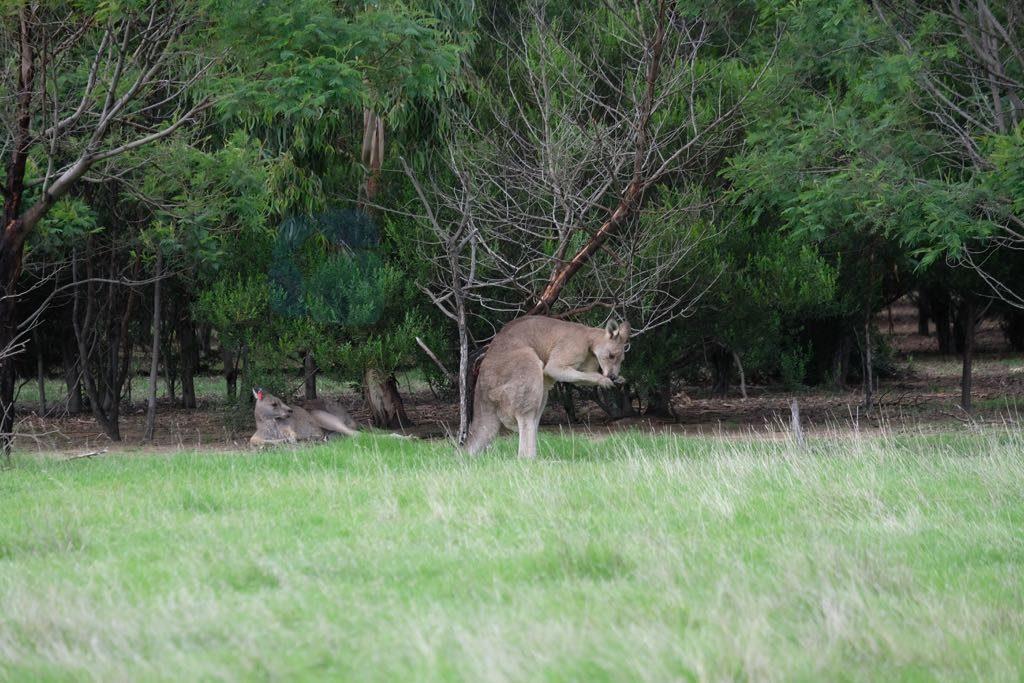 You Yangs National Park'da Kangurular Melbourne